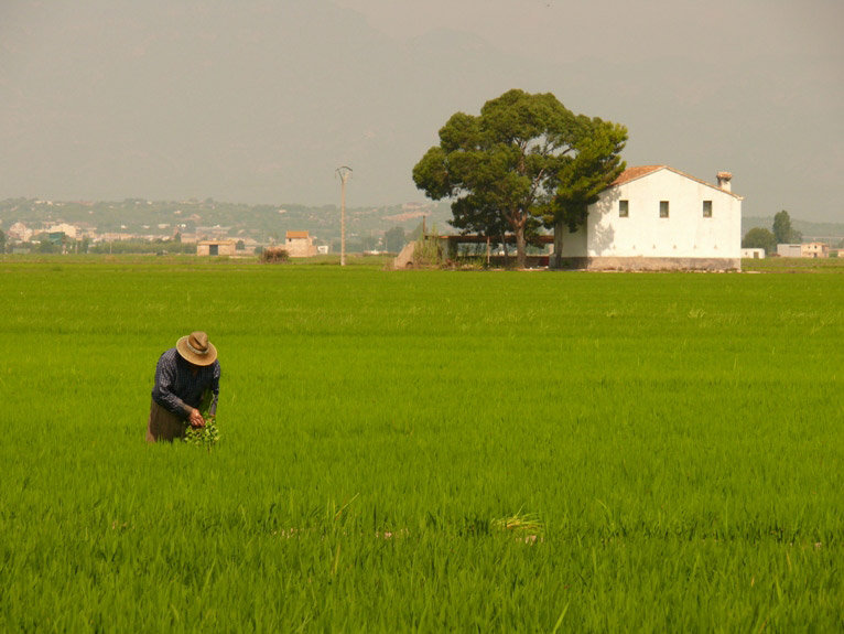 riz-noir-riziere-delta-ebre